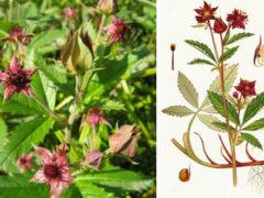 Применение Сабельника болотного— Уникальное Целебное растение