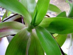 Целебные свойства золотого уса— лечение и уход за растением