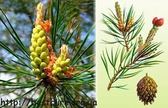 Из свежих сосновых почек готовят сосновый мед -эффективное средство для укрепления иммунитета, употребления витамина C, хорошее средство от кашля.