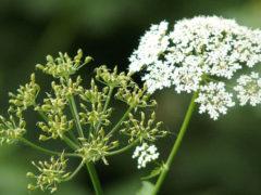 Анис— полезные свойства, применение и противопоказания